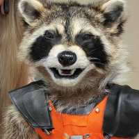 Someone Made A Real Life Rocket Raccoon Taxidermy
